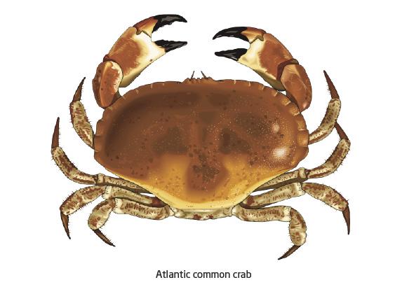 Name:  01_atlantic_common_crab.jpg Views: 3486 Size:  65.6 KB