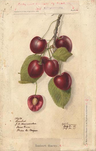 Name:  Cherries_38450lg.jpg Views: 1919 Size:  30.2 KB