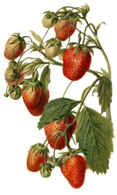 Name:  240px-StrawberryWatercolor.jpg
