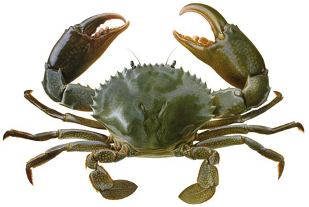 Name:  MudCrabScylla_serrata.jpg