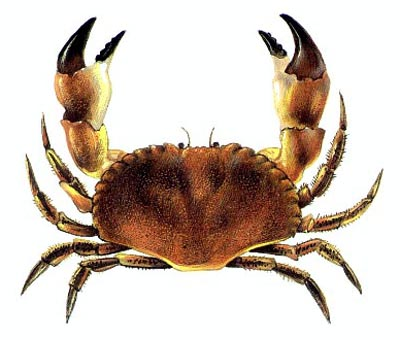 Name:  lithEdblCrab.jpg