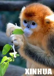 Name:  khỉ vàng.jpg Views: 1525 Size:  7.9 KB