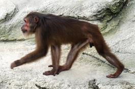 Name:  khỉ mặt đỏ.JPG Views: 1337 Size:  31.2 KB