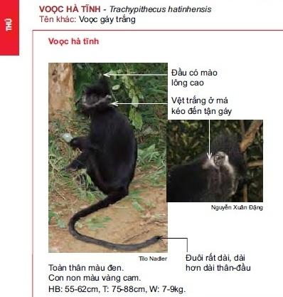 Name:  vooc Hà tinh và vọc đen má trắng.jpg Views: 1484 Size:  55.1 KB