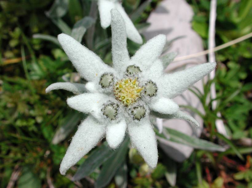 Name:  edelweiss.jpg