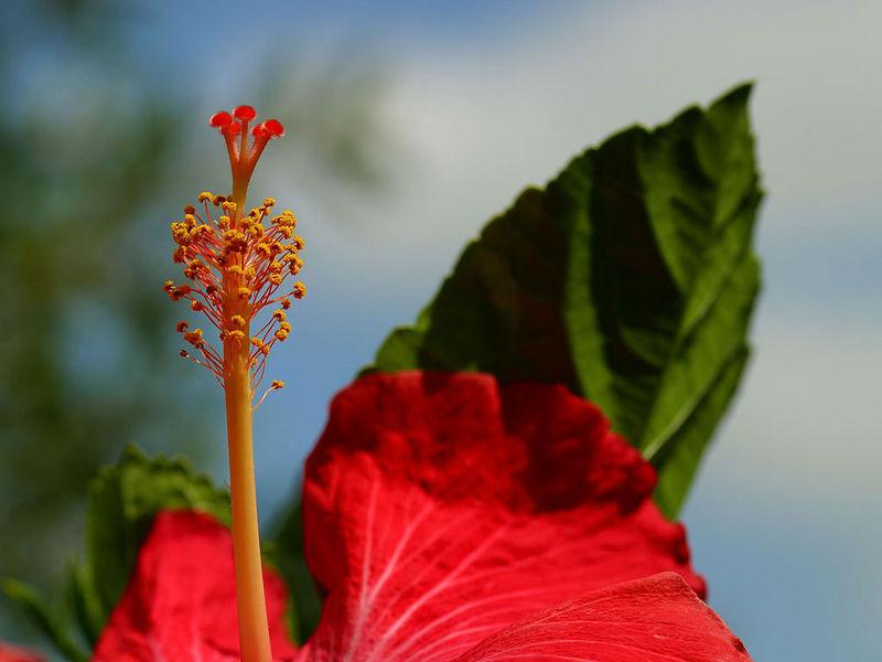 Name: 800px-Hibiscus1.jpg Views: 1846 Size: 60.2 KB