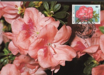 Name:  FLOWERS RHODODENDRON BY BUZIN.jpg Views: 1275 Size:  39.8 KB